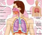 O sistema respiratório (inglês)