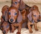 Filhotes dachshund ou teckel