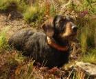 Dachshund ou teckel é uma raça de cães oriunda da Alemanha
