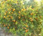 Árvore de mandarina