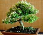 Árvore bonsai, árvore em miniatura em uma bandeja de acordo com a arte japonesa de bonsai