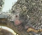 Ouriço-caixeiro