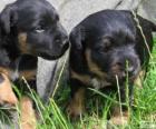 Filhotes de Terrier alemão de caça