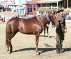 Waler cavalo originários da Austrália