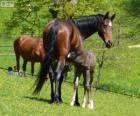 Württemberger ou Württemberg, cavalo, originário da Alemanha