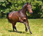 Westphalian, cavalo, originário da Alemanha