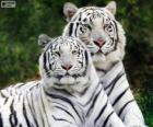 Tigres de bengala branca