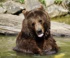 Grande urso na água
