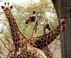 Quatro girafas