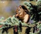 Esquilo-vermelho em uma árvore