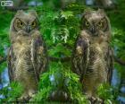 Duas corujas-orelhudo