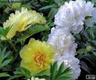 Flores de peónia