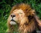 Leão sob o sol