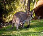 Canguru cinzento ocidental