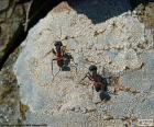 Duas formigas
