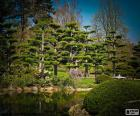 Sugi ou cedro japonês é que uma árvore de grande porte pode chegar a 70 metros de altura. É a árvore nacional do Japão