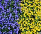 Flores azuis e amarelas