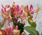 Flor de madressilva