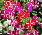 Petúnia flores