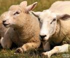 Duas ovelhas