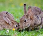 Dois coelhos comendo