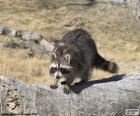 O Guaxinim é um animal da florestas do continente americano