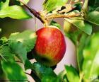 Uma maçã na árvore à espera de ser recolhida