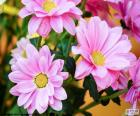 Margaridas rosa