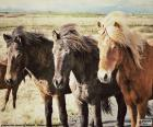 Três cavalos islandeses