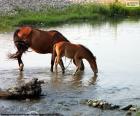 Égua e potro beber água fresca do Rio