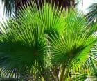 Washingtonia folhas