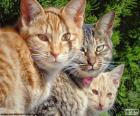 Três gatos olhar