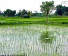 Campo de arroz, Indonésia