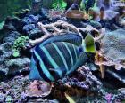 Peixe exótico