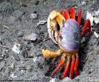 Caranguejo de cores