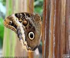 Uma linda borboleta-coruja, nomeado para a semelhança de suas asas aos olhos de corujas
