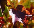 Outono na vinha
