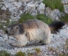Marmota alpina