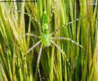 Aranha lince verde