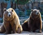 Dois ursos pardos