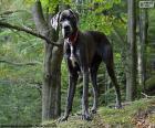 Puzle Dogue alemão