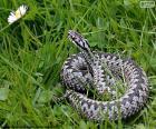 Viper comum europeu é uma espécie de cobra venenosa
