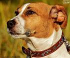 Cabeça de Jack Russell Terrier