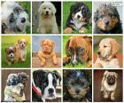 Colagem fantástica, consistindo em doze imagens de cães