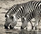Três zebras bebendo