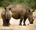 Dois rinocerontes