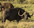 Búfalo-africano