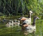 Família de gansos-do-nilo