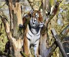 Tigre, controlando seu território