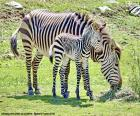 Zebra do bebê e sua matriz